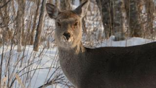 File image of a Japanese deer