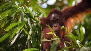 Bornean orangutan (c) Voigt et al