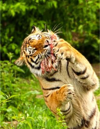 Vitali, the Amur Tiger,