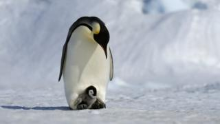 An adult emperor penguin cradles a baby emperor penguin at its feet to keep it warm