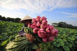 A woman collects lotus flowers at a lake in Hanoi, Vietnam, 20 June 2018