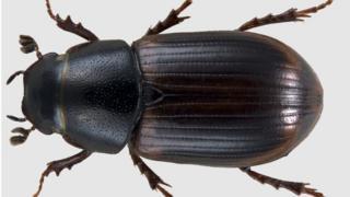 Aphodius fasciatus