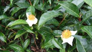 Tüm çaylar çay bitkisi Camelli Sinensis'in yapraklarından yapılıyor