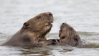 A pair of Eurasian beavers