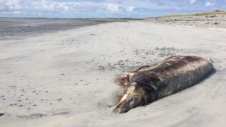 Cuvier's beaked whales on beach