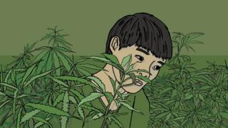 Vietnamese boy in cannabis farm