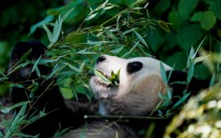 Tian Bao, 4-year-old giant panda eats leaves in its enclosure on the reopening day of Pairi Daiza animal park in Brugelette on May 18, 2020