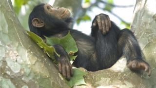 Chimp in Tanzania