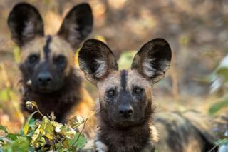 گوشهای بزرگ این جانواران به آنها کمک میکند تا صدهایی از فاصله بسیار دور را هم بشنوند