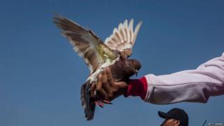 कबूतर प्रतिस्पर्धा