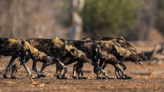 این حیوانات حالا در فهرست جانوران در خطر انقراض قرار گرفتهاند