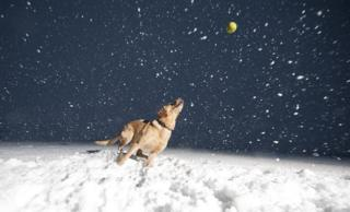 Labrador playing a ball game in the snow