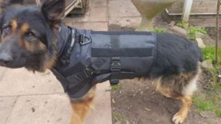Police dog in body armour