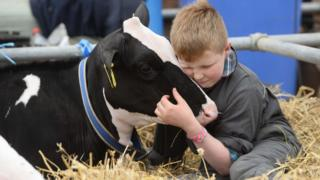 A boy hugs a cow at Balmoral Show