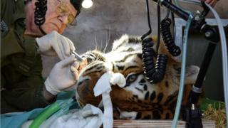 Tiger at Noah's Ark Zoo Farm in Somerset