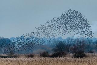 A starling murmuration at RSPB Otmoor