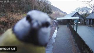 A bird looking into shot at the camera in Abergynolwyn Station, in Gwynedd,
