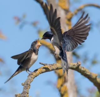 Swallow being fed on a tree branch