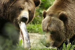 Grizzly bears are a protected species