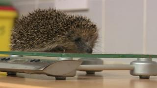 Hedgehog on a scale