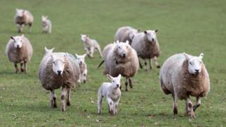 Sheep on a Welsh farm