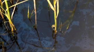 Oil residues in a salt marsh in Barataria Bay, Louisiana (c) Andrea Bonisoli Alquati