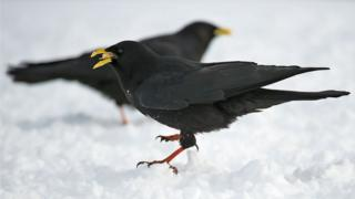 Alpine Choughs feature regularly in Neanderthal sites. They are the most frequent corvid