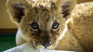 A two-month old lion cub called Astra pictured at the Sadgorod Zoo in 2017.