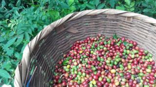 Разноцветные зерна. Иногда на плантациях собирают только желтые и красные зерна