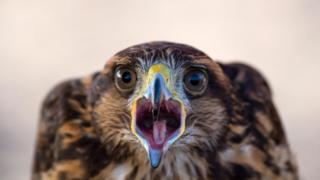 The Harris's hawk Hook