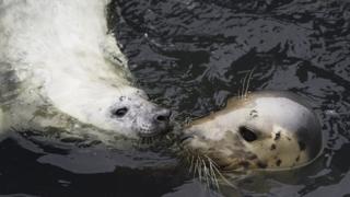 Seal and calf