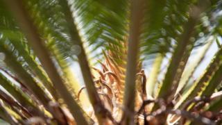 एक पौधे ने कैसे एक जापानी द्वीप को बचाया?