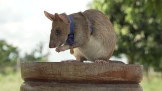 मगवा विशाल अफ्रीकी पाउच चूहा