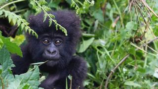 Virüsün goriller gibi büyük insanı maymunları nasıl etkileyeceği bilinmiyor