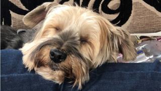 Toby igle dog