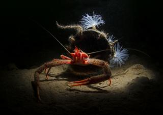 A long clawed squat lobster poses outside his home made from a piece of plastic pipe while sea loch anemones decorate the entrance.