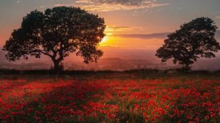 Sunset poppies