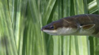 The European eel is classed as critically endangered