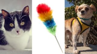 Cat, feather duster and Chihuahua