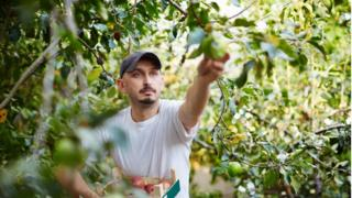 migrant worker picking fruit