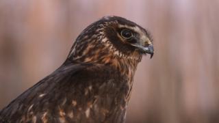 Growing call for grouse shooting ban as season opens