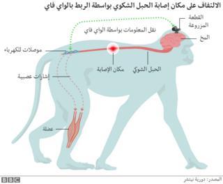صورة توضح مسار الإشارة من مخ القرد إلى العضلة