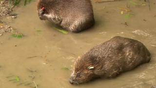Beavers at Lydbrook