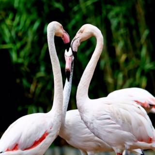 Flamingos looking at each other