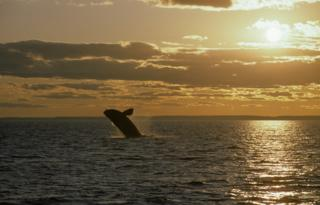 A North Atlantic right whale breaches the waters in the Bay of Fundy at sunset.