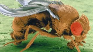 Fruit fly (Image: Science Photo Library)
