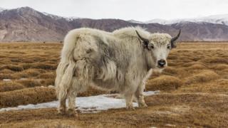 牦牛可能很坚强,但是大雁更加坚强