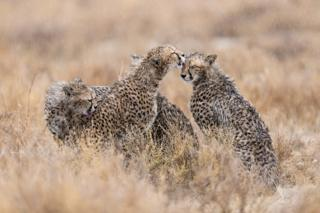 Three cheetahs grooming each other