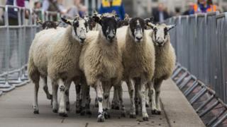 Овцы на выставке в Лондоне