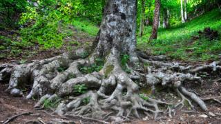 Tronco y raíces extensas de un árbol